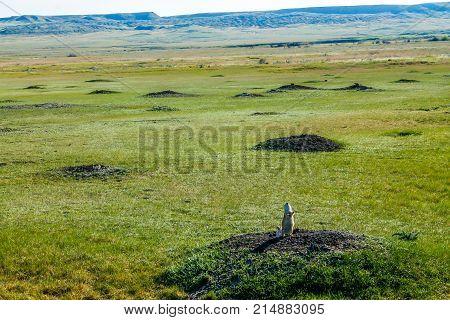 Sentinel in Prairie dog town, Grasslands National Park, Alberta, Canada