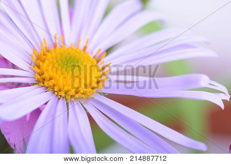Spring or summe Camomile flower close up