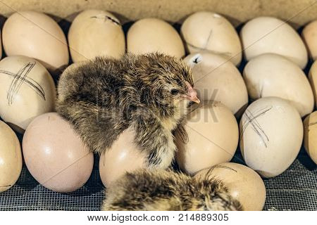 Newborn chick lying on chicken eggs in an incubator