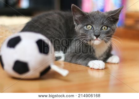 A grey and white kitten looking rather frightened by a toy football