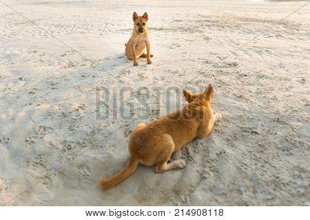 Friendly Dogs On Koh Larn