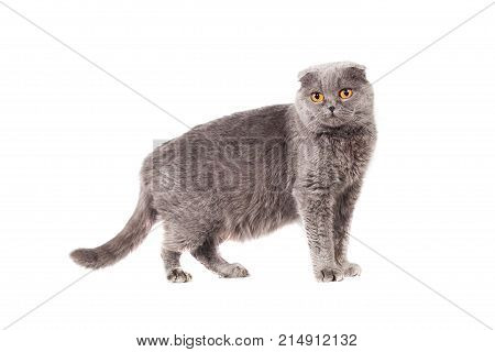Scottish Fold Of Gray Color Gray Adult Shorthair In Full Growth On A White Isolated Background