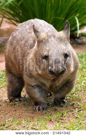 Common wombat - vombatus ursinus
