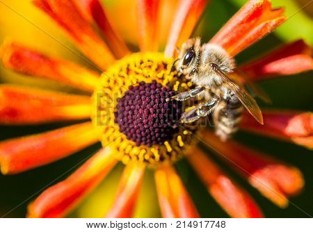 macro photography of a bee collects pollen from a flower
