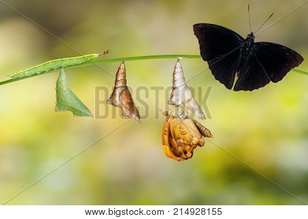 Transformation From Caterpillar And Chrysalis Of  Male Siamese Black Prince Butterfly Hanging On Twi
