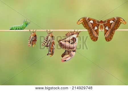 Life Cycle Of Female Attacus Atlas Moth From Caterpillar And Cocoon