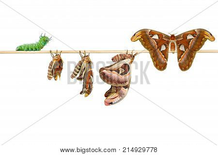 Isolated Life Cycle Of Female Attacus Atlas Moth From Caterpillar And Cocoon On White