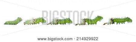 Isolated Molting Caterpillar Stage Of Atlas Butterfly ( Atlas; Attacus )  On White
