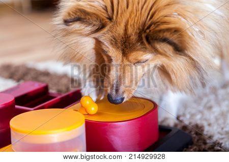 a Shetland Sheepdog on a dog toy