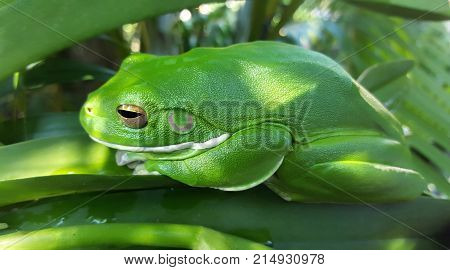 close up of a Tropical green frog