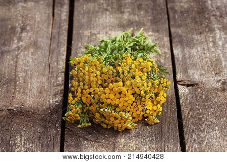 Tansy Tanacetum - perennial herbaceous plants Compositae Asteraceae . Herbs harvesting of medicinal raw materials .