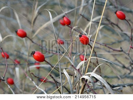 Rose hip, Dog rose red ripe fruits.Fresh raw briar (Rosa canina) berries in the garden.Natural autumn background.Herbal medicine,Medicinal plants and herbs concept. Selective focus.