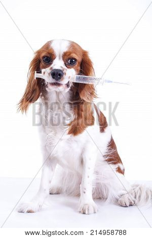 Dog vaccination. King charles spaniel with vaccination injection syringe tube. Trained pet photos. Cute.