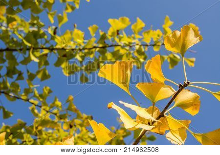 The yellow leaves of