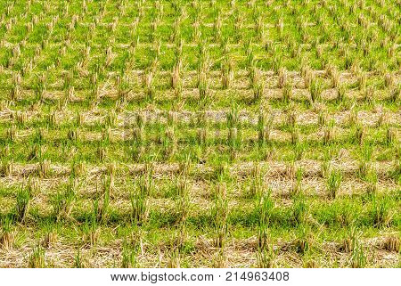 Paddy field in japan after havest time