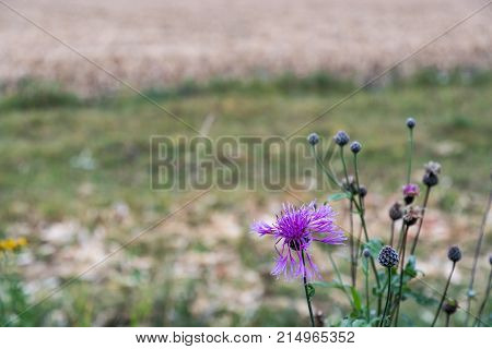 Purple wildflower and buds in a meadow