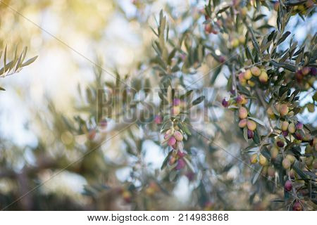 Spanish olive grove, branch detail. Raw ripe fresh olives growing in mediterranean garden ready to harvest, soft focus with beautiful boke