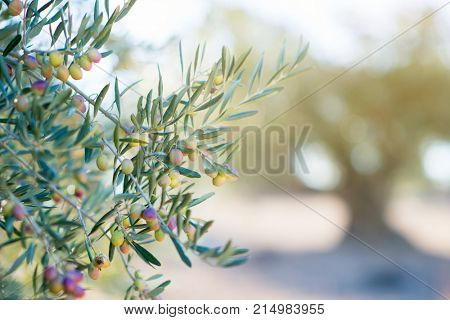Olive's trees garden, mediterranean olive field ready for harvest. Spanish olive grove, branch detail. Raw ripe fresh olives.