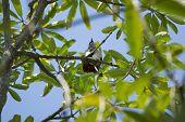Red whiskered Bulbul Bird on Tree Pycnonotus jocosus poster