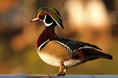 A Wood Duck drake during the early morning in southern California during winter. poster