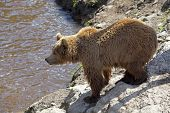 A brown bear at the edge of the waters poster