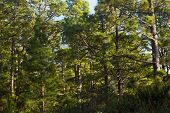 Pine forest, lush green trees. Sustainable clear ecosystem. Pinus canariensis, Canary Islands, Tenerife poster