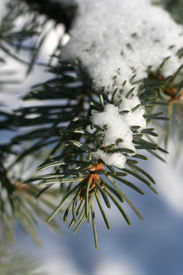 Spruce branch with snow