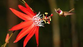 Red passiflora coccinea with hummingbird (Costa Rica)