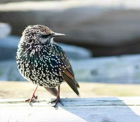 Bird Starling in autumn (Amsterdam, Holland)