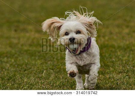 Bichon Havanais Dog Playing With Golf Ball