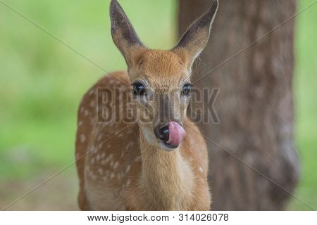 Young Deer, Cervidae, Licking Face On A Sunny Summer Afternoon