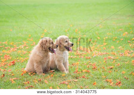 Two Little Golden Retriever Dogs Sitting On Green Grass Field With Many Petal Of Flower