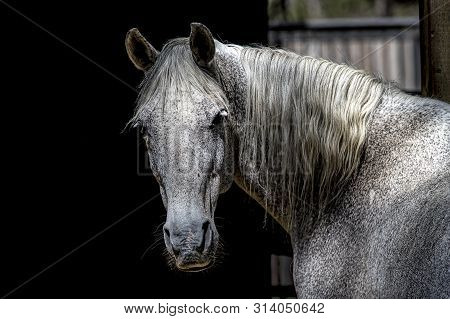 Portraiture Of A White Horse. A Beautiful Portraiture Of A White Horse Against A Dark Background Wit