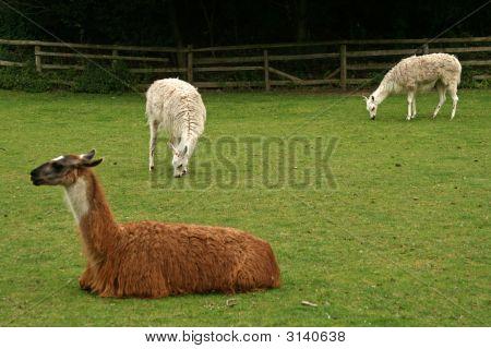 Resting Llamas At The Zoo Eating Grass