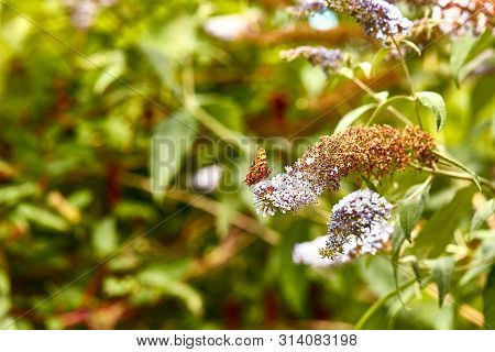 A Comma Butterfly (polygonia C-album) Feeding On A Buddleia Petal. This Underside View Shows The Dis
