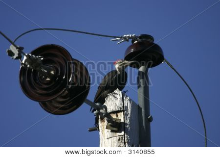 Pileated Woodpecker On Top Of Pole