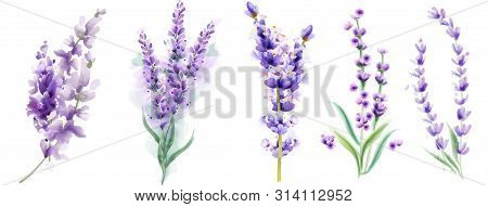 Lavender Set Vector Watercolor. Beautiful Floral Bouquets Isolated On White