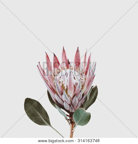 beautiful King Protea flower (protea cynaroides) isolated on a light grey background, copyspace for your text