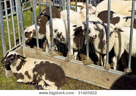 Young Black And White Lambs In A Sheep Pen