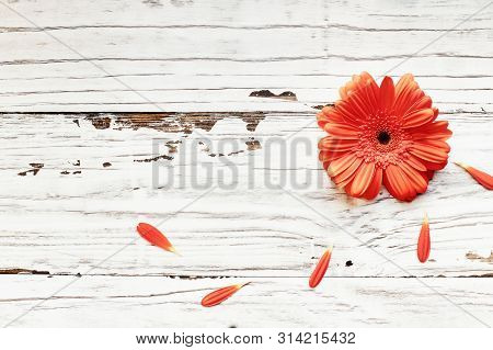 Above Shot Of Beautiful Coral Colored Gerbera Daisy With Loose Petals Over A White Rustic Wood Backg
