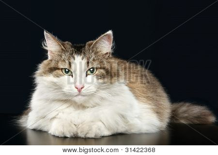 Fluffy cat lies on a dark-blue background poster