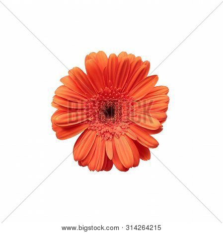 Gerbera Daisy Isolated Over A White Background With Clipping Path Included. Top View.