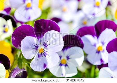 Garden Pansy With Purple And White Petals. Hybrid Pansy Or Viola Tricolor Pansy In Flowerbed. Violet