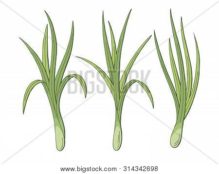 Lemongrass Plant Graphic Color Isolated Sketch Illustration Vector