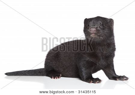 American Mink 1 month. Black puppy on a white background poster