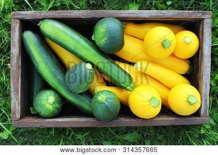Harvesting Zucchini. Fresh Squash Lying In Box. Fresh Squash Picked From The Garden. Organic Food Co