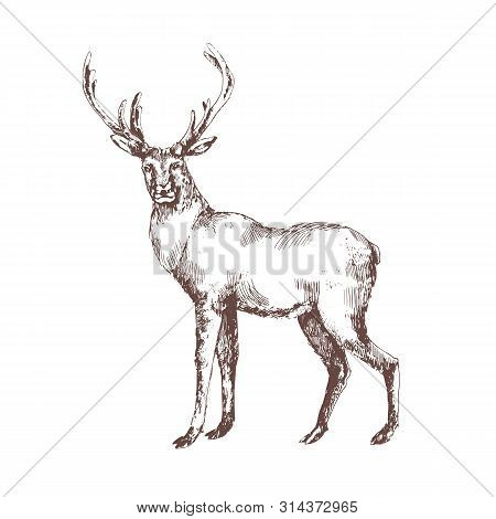 Red Deer Hand Drawn With Contour Lines On White Background. Elegant Sketch Drawing Of Wild Forest An