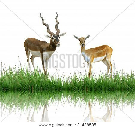 blackbuck with green grass isolated on white background