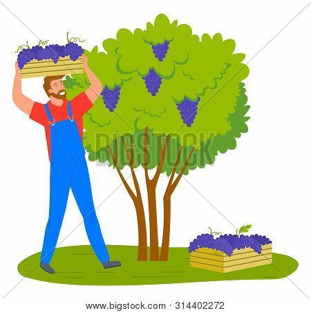 Man Gathering Grapes On Vineyard Plantation Isolated Cartoon Person. Vector Viticulture And Winemaki