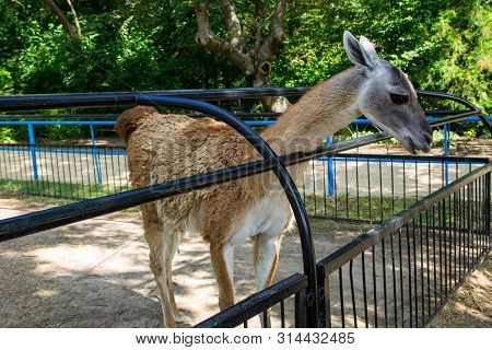 Lama Guanaco (lama Guanicoe). Guanaco Is A Mammal Of The Genus Lam Of The Family Of Camelid. Is The